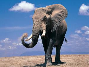 Слоны1