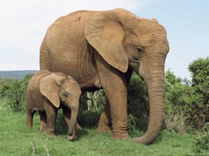 Слоны2