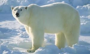 белый медведь1