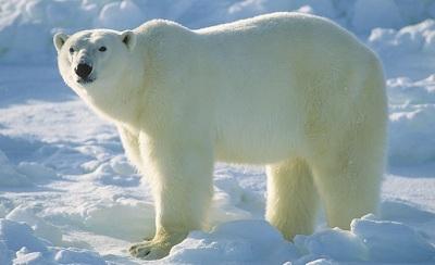 Белый (полярный) медведь -- самый большой медведь в мире