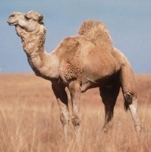 верблюд2