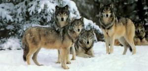 волк2