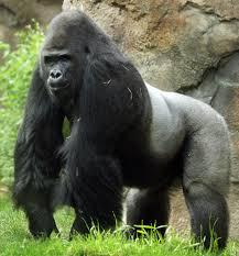 гориллы1