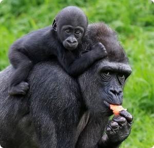 гориллы2