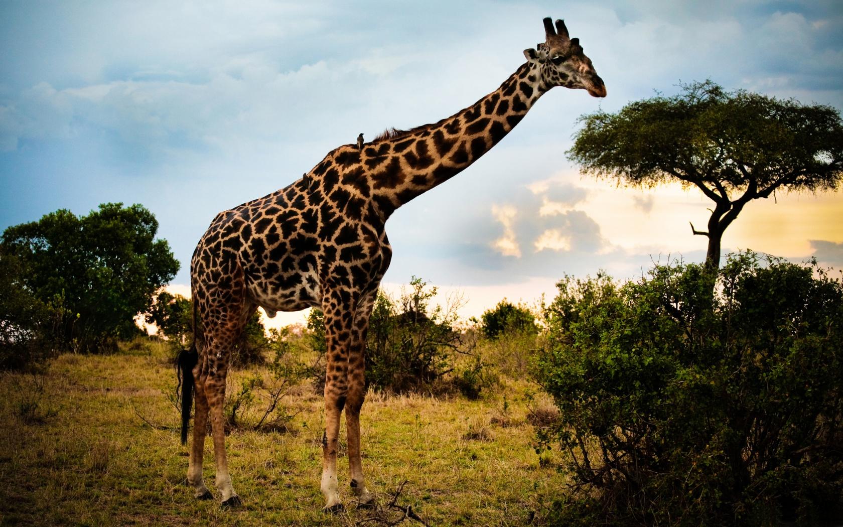 Жираф --- самое высокое животное планеты