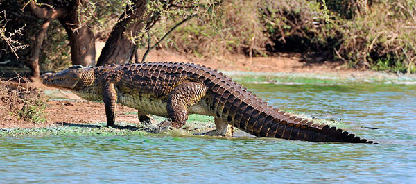 Нильский крокодил -- потомок динозавров