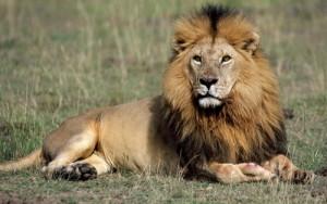 львы2
