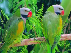 попугаи2