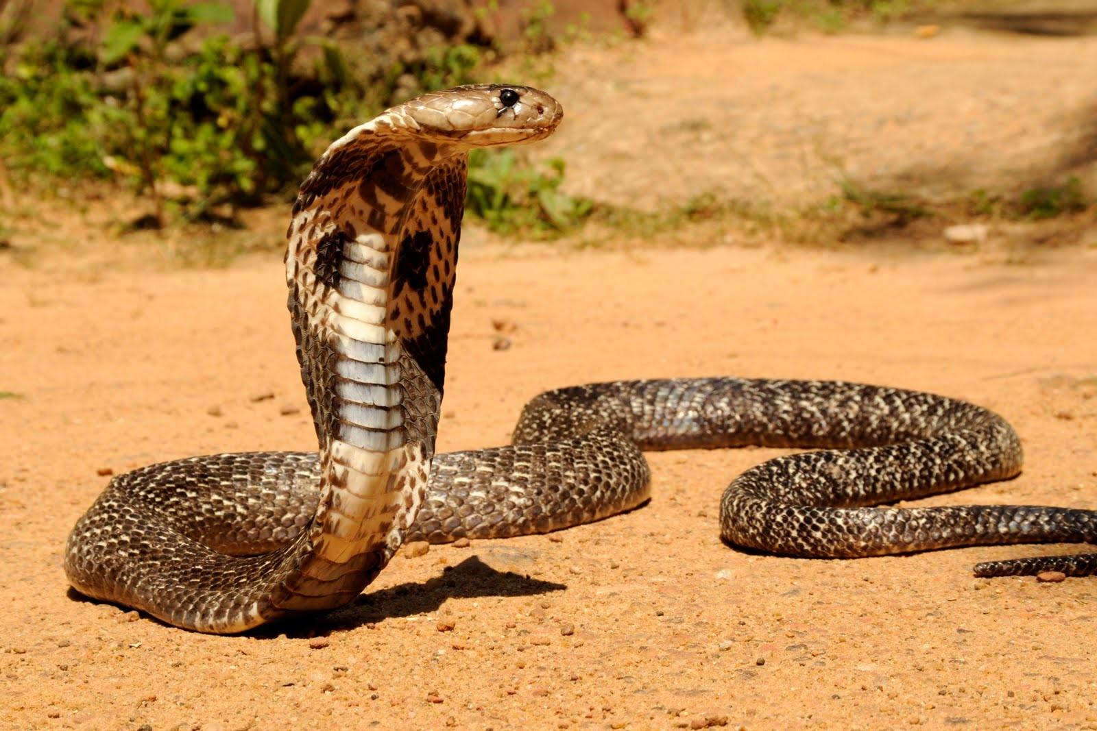 Картинки по запросу азиатский кобра