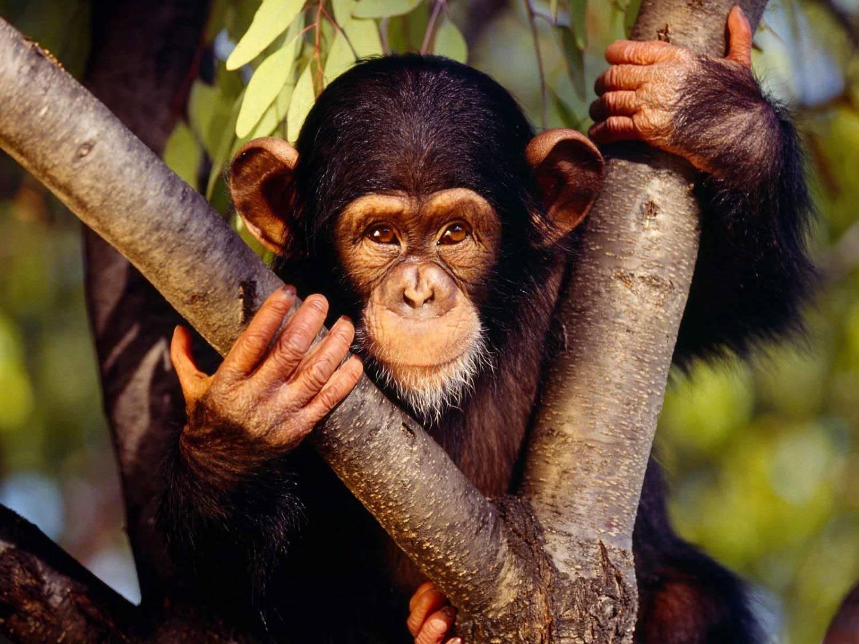 Шимпанзе - близкий родственник человека?