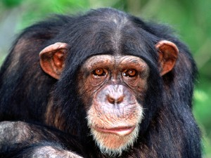 ushastaya_shimpanze_1600x1200