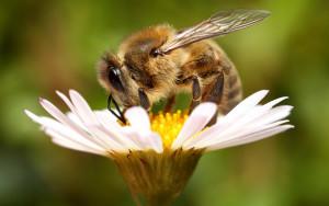 Пчелы1