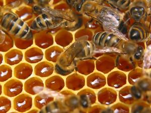 Пчелы2