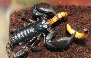 Скорпионы2