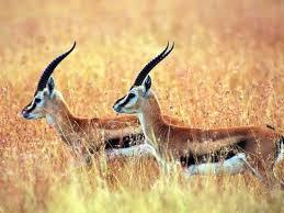 антилопы1