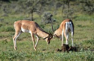 антилопы2