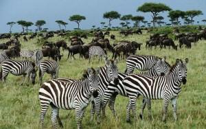 зебры1