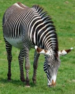 зебры3