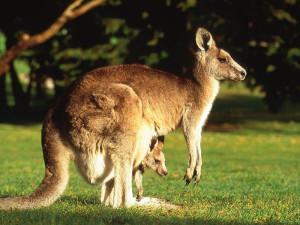 кенгуру2
