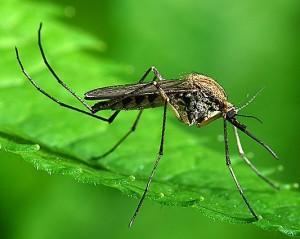 Комары1