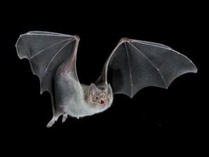Летучие мыши1