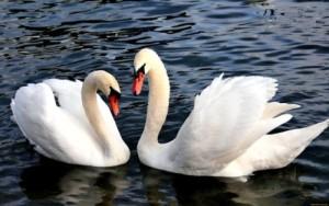 лебеди1