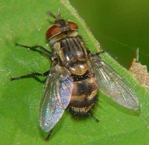 мухи1