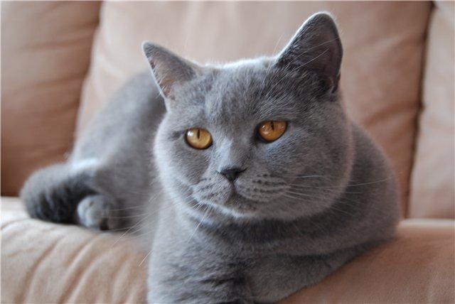 Домашняя кошачья война. Перс против британца