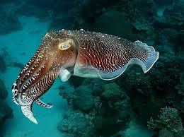 Каракатицы1