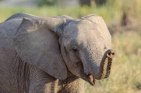Африканские Буш Слоны