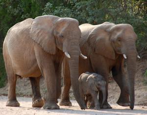Африканские Буш Слоны2