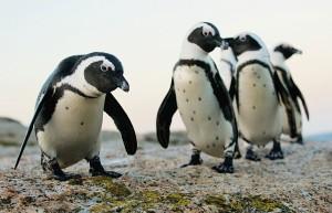 Африканский Пингвин2