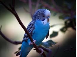 Волнистые попугайчики1