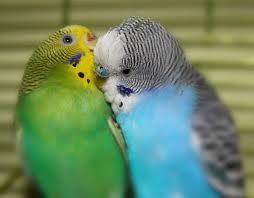 Волнистые попугайчики2