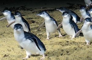 Карликовый пингвин2