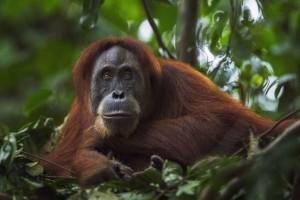 Орангутанги1