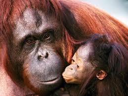Орангутанги2