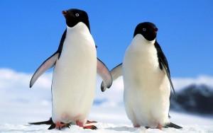 Пингвин Адели2