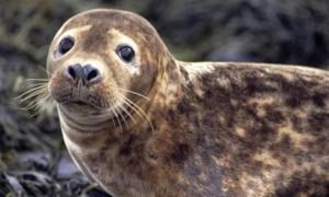 Серые тюлени1