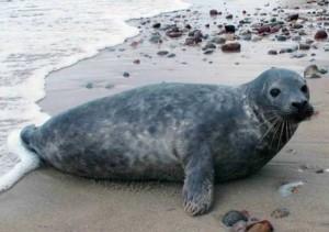 Серые тюлени2