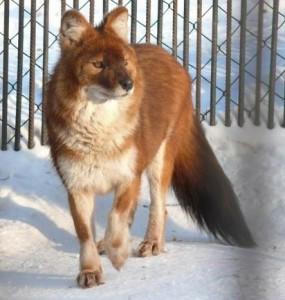 Красный волк 1