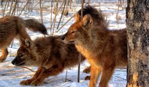 Красный волк 2