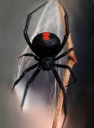 Черные вдовы1