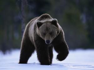 Черный медведь1
