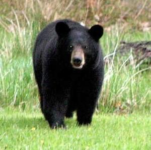 Черный медведь2
