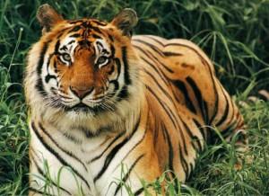 Бенгальский тигр111