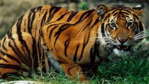 Бенгальский тигр222