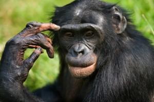 Бонобо11