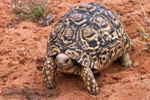 Леопардовая черепаха1