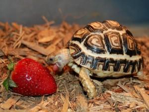 Леопардовая черепаха2